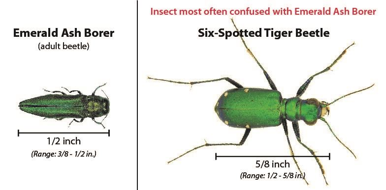 compare eab to tiger beetle