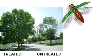EAB-Mtka-treated-untreated.jpg